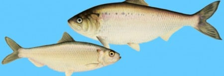Shad and Herring