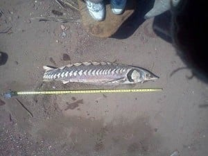 Dead sturgeon on beach Upper Nyack 4_20_13