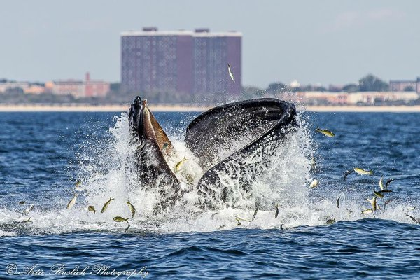 Whale feeding on menhaden near New York City. (Photo by Artie Raslich for Gotham Whale, via Twitter.)