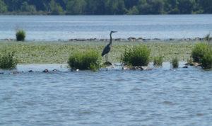 Hudson-River-Heron-crLeahRae-06-2014-2050-600
