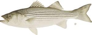 striped_bass_credit_DEC