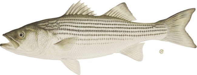 striped_bass_credit_DEC
